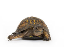 Box turtle on a white background. A box turtle makes its way across a white background Royalty Free Stock Images