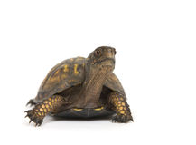 Box turtle on a white background. A box turtle makes its way across a white background Stock Images