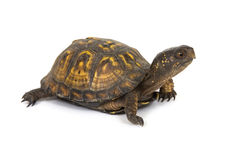 Box turtle on a white background. A box turtle makes its way across a white background Stock Image