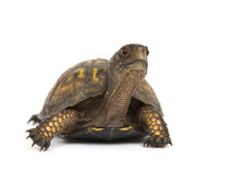 Box turtle on a white background. A box turtle makes its way across a white background Stock Photos