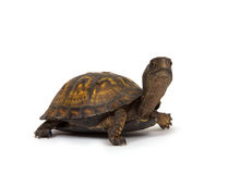 Box turtle on white background royalty free stock photography
