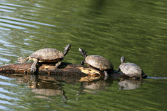 Box Turtles Stock Images