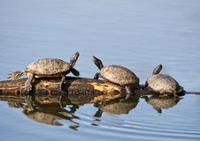 Box Turtles Royalty Free Stock Photography