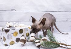 Box in white wrapping paper with painted Christmas balls, cat sn. Iffs cotton branches, spruce branch, on white wooden, canadian Sphynx royalty free stock photo