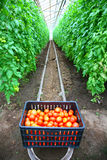 Box With Tomatoes Royalty Free Stock Images