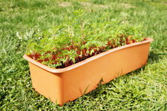 Box with young seedling stands on the grass in the garden Royalty Free Stock Image
