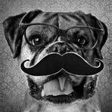boxare skild hund Fotografering för Bildbyråer