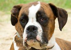 boxarecloseuphund Royaltyfri Bild