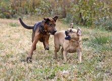Boxareherde och Puggle blandade avelhundar. Arkivbild