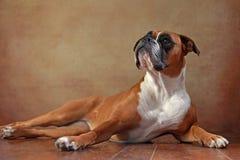 boxarehund Arkivbilder