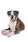 Boxarehund framme av en vit bakgrund Royaltyfria Bilder