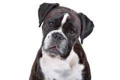 Boxarehund framme av en vit bakgrund Arkivbild