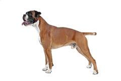 Boxarehund framme av en vit bakgrund Arkivfoton