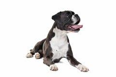 Boxarehund framme av en vit bakgrund Royaltyfri Fotografi