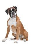 Boxarehund framme av en vit bakgrund Royaltyfri Foto