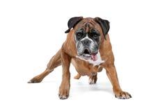 Boxarehund framme av en vit bakgrund Fotografering för Bildbyråer