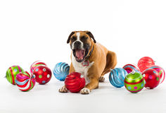 Boxarehund med julprydnadar Royaltyfri Bild