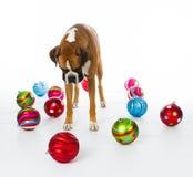 Boxarehund med julprydnadar Arkivfoton