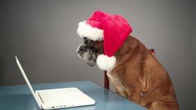 Boxarehund med jultomtenhatten som arbetar på bärbara datorn stock video