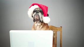 Boxarehund med jultomtenhatten som arbetar på bärbara datorn lager videofilmer