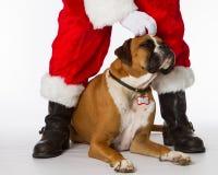 Boxarehund med Santa Royaltyfri Foto