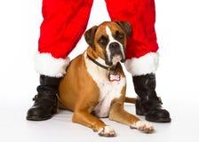 Boxarehund med Santa Royaltyfri Bild