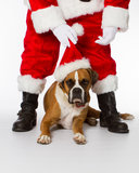 Boxarehund med Santa Royaltyfri Fotografi