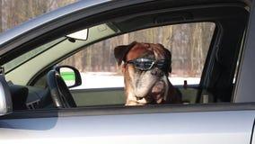 Boxarehund med solglasögon som sitter på chaufförplatsen arkivfilmer