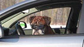 Boxarehund med solglasögon som sitter på chaufförplatsen stock video