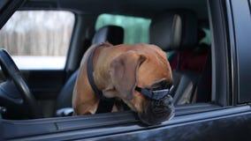 Boxarehund med solglasögon som sitter på chaufförplatsen och omkring ser stock video