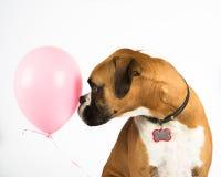 Boxarehund och rosa färgballong Arkivbilder
