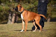 Boxarehund på en gå Fotografering för Bildbyråer