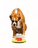 boxarehund som äter spagetti Arkivbild
