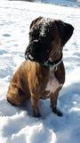 Boxarehund som täckas med snö Arkivfoto