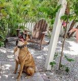 boxarehund som ut klibbar tungan och ser kameran Fotografering för Bildbyråer