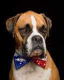 Boxarehund 4th Juli Bowtie Arkivbild