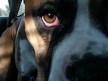 boxarehund royaltyfria bilder