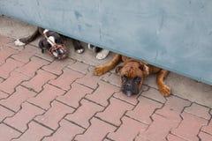 boxarehundar skydd två Royaltyfri Bild