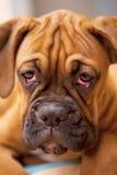 boxarehunden eyes den SAD tyska valpen Fotografering för Bildbyråer