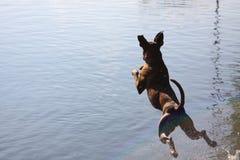 Boxarehunden hoppar till vattnet fotografering för bildbyråer