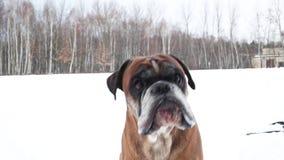 Boxarehunden som skäller i den täckte snön, parkerar lager videofilmer
