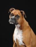 boxarehundkvinnlig royaltyfri fotografi