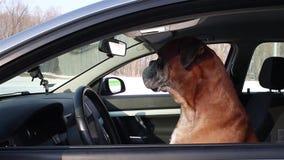 Boxarehundsammanträde på chaufförplatsen lager videofilmer