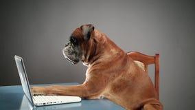 Boxarehundsammanträde på en stol och ett trängande tangentbord på bärbara datorn lager videofilmer
