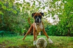 Boxaretjurhund med en bruten boll arkivbilder