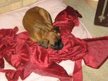 Boxarevalp, gullig valp som sover på den röda filten arkivfoto
