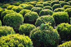 Boxas Trees Arkivfoton