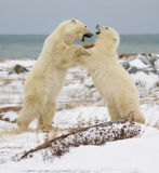 Boxe d'entraînement d'ours blancs Image libre de droits