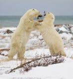 Boxe de treino dos ursos polares Imagem de Stock Royalty Free