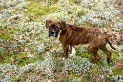 Boxeador del perrito Fotografía de archivo